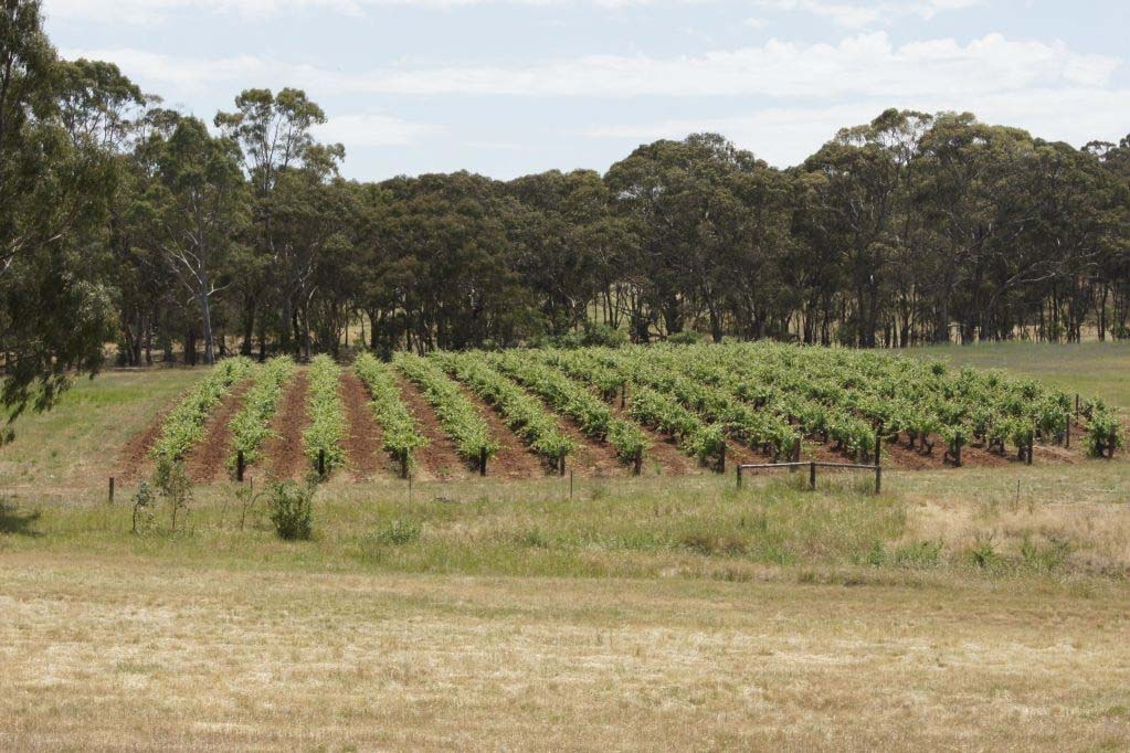 Vineyard at Wendouree Cellars